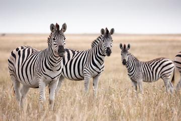 Fototapeta na wymiar Zebras migration in Makgadikgadi Pans National Park - Botswana