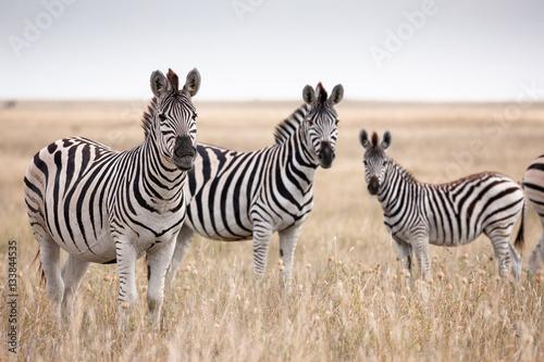 Poster Zebra Zebras migration in Makgadikgadi Pans National Park - Botswana