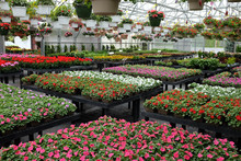 Annual Flowers For Sale In Greenhouse