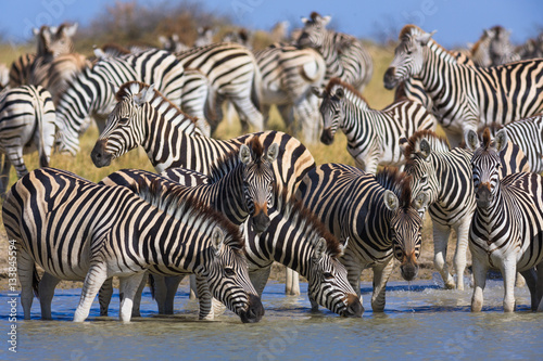 Obrazy na płótnie Canvas Zebras migration in Makgadikgadi Pans National Park