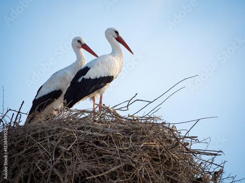 Naklejki Bocian  pareja-de-ciguenas-cicocina-ciconia-en-el-nido