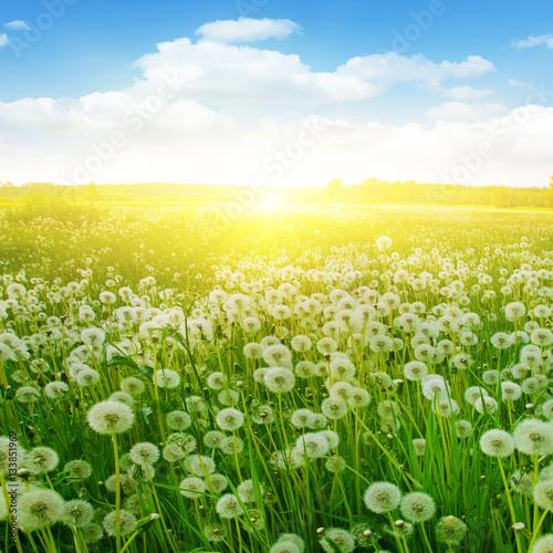Fototapety, obrazy: Dandelion field and sunlight.