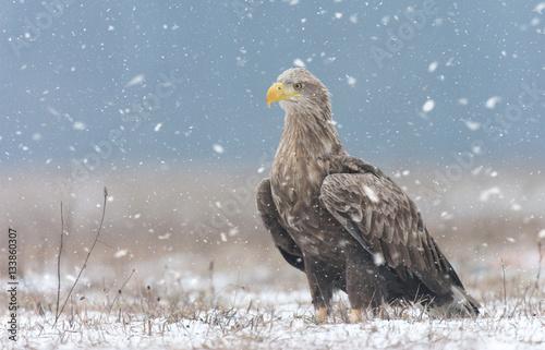 Poster Aigle White tailed eagle (Haliaeetus albicilla) in winter scenery
