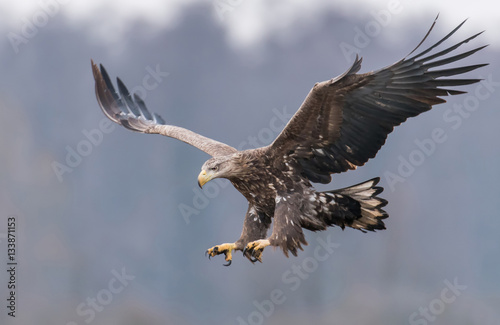 In de dag Eagle White tailed Eagle (Haliaeetus albicilla)