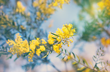 Australian Golden Yellow Sprin...