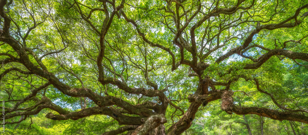 Fototapeta Panorama of branches from the Angel Oak Tree