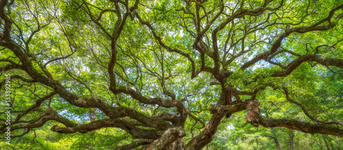 Fotobehang Natuur Panorama of branches from the Angel Oak Tree