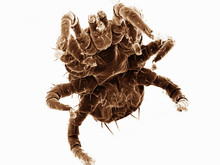 Ventral View Of Small Mite Found On Bat, Acrididae