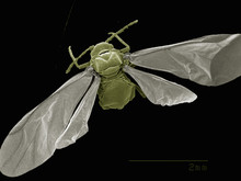 Dorsal View Of Winged Aphid, Hemiptera