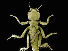 Dorsal View Of Head Of Damselfly, Odonata