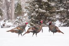 Wild Turkeys In Snow