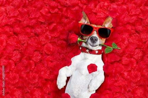 Photo sur Aluminium Chien de Crazy valentines dog in love