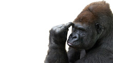 Isolated Gorilla Thinking With Room For Text