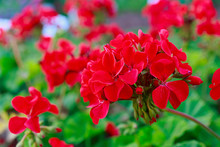Red Geraniums In The Summer Ga...