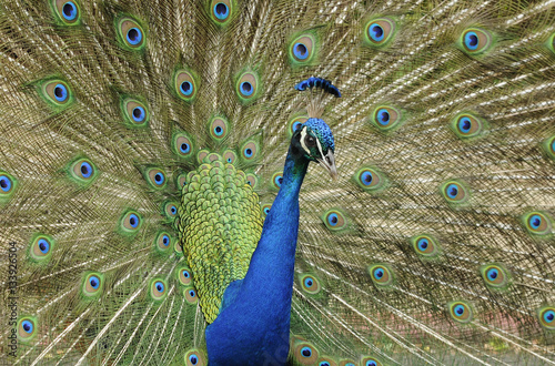 Foto op Canvas Pauw A peacock with its tail outstretched.