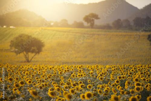 Fototapety, obrazy: Sunflower field