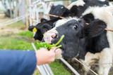 Fototapeta Zwierzęta - Cow farm