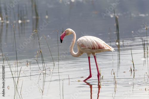 Foto op Aluminium Flamingo A flamingo standing in a lake.