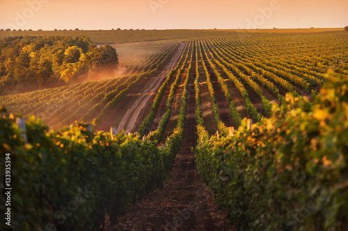 Wall Murals Vineyard beautiful grape field at sunrise
