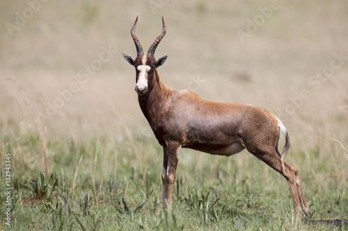 Spoed Fotobehang Antilope Blesbok male standing on open grass plain