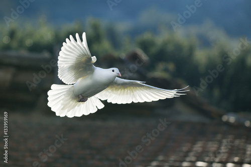 Naklejka premium biała gołębica