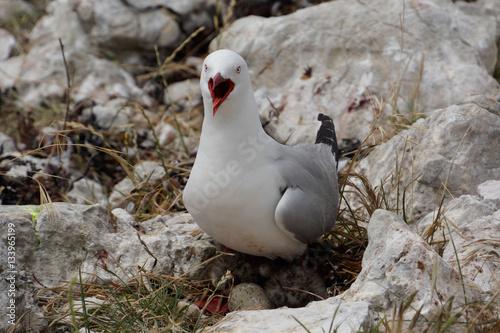 Valokuva  Rotschnabelmöwe verteidigt ihr Nest lautstark