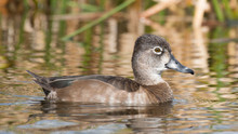 Female Ring Necked Duck Florid...
