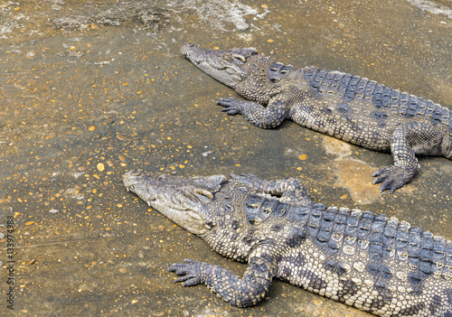 Foto op Plexiglas Krokodil Closeup of crocodile with sun light