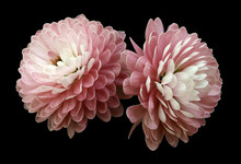 White-red  Flowers  Chrysanthe...