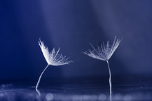Dandelion Seed With Waterdrops...