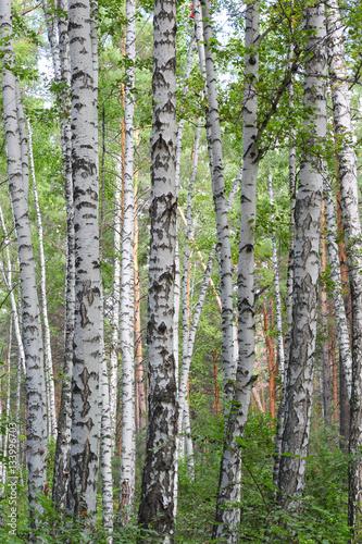 Tuinposter Berkbosje Birch tree forest