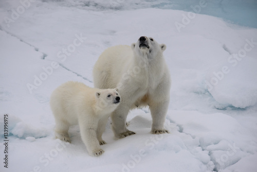 In de dag Ijsbeer Polar bear (Ursus maritimus) mother and cub on the pack ice
