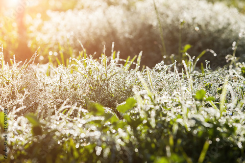 Cadres-photo bureau Pissenlits et eau Drops of Ice Dew on the grass in light flare
