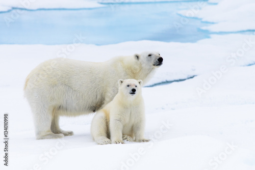 Polar bear (Ursus maritimus) mother and cub on the pack ice, nor