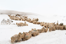 Welsh Mountain Sheep Trapped I...