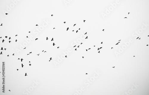 Slika na platnu crow in flight