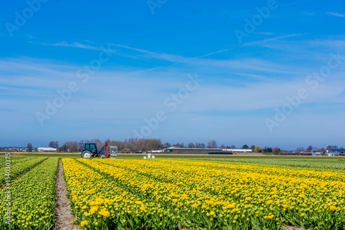 Aluminium Prints Yellow Tulip colorful blossom flowers cultivation field in spring. Keuk