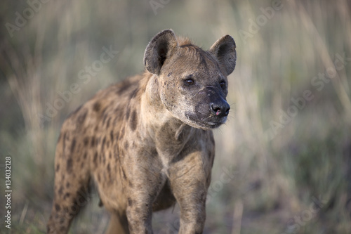 In de dag Hyena Portrait of african spotted hyena
