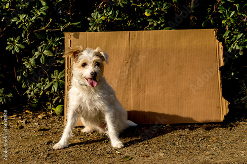 Fotografie, Obraz  Homeless Jack Russell with cardboard sign with room for your text