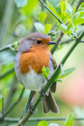British springtime robin Poster