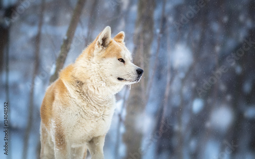 Photo  japanese Dog Akita Inu Winter Portrait