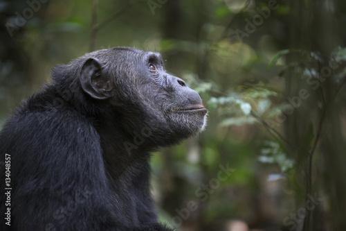 Fotografie, Obraz  Portrait of free wild chimpanzee
