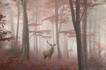 Fototapeta Mgła Beautiful image of red deer stag in foggy Autumn colorful forest