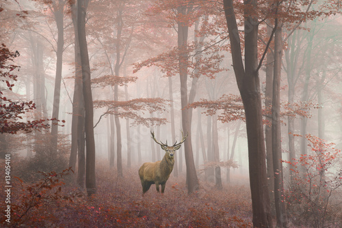 Spoed Foto op Canvas Donkergrijs Beautiful image of red deer stag in foggy Autumn colorful forest