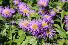 """Aspen Fleabane"" Flowers (or S..."