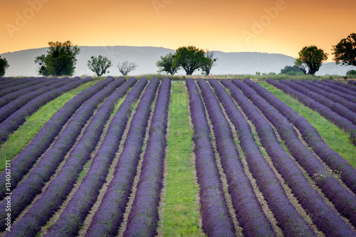 Tuinposter Lavendel Lines of lavender flower near Valensole, Provence, 2013