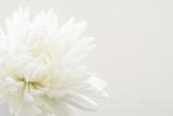 白色の菊の花
