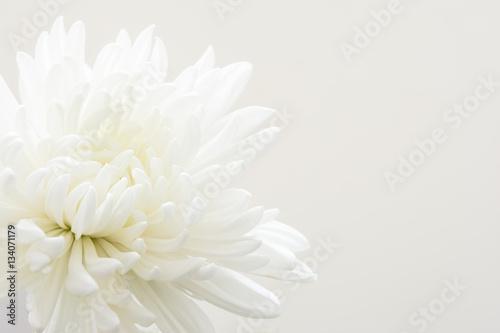 Stampa su Tela 白色の菊の花