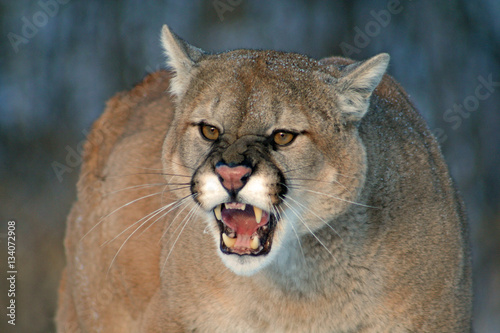 In de dag Puma Majestic Cougar