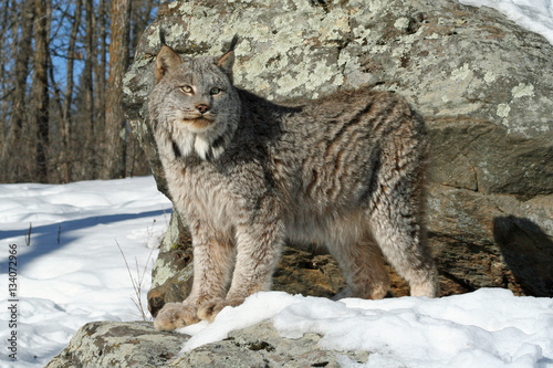 Poster Lynx Canada Lynx in the Snow